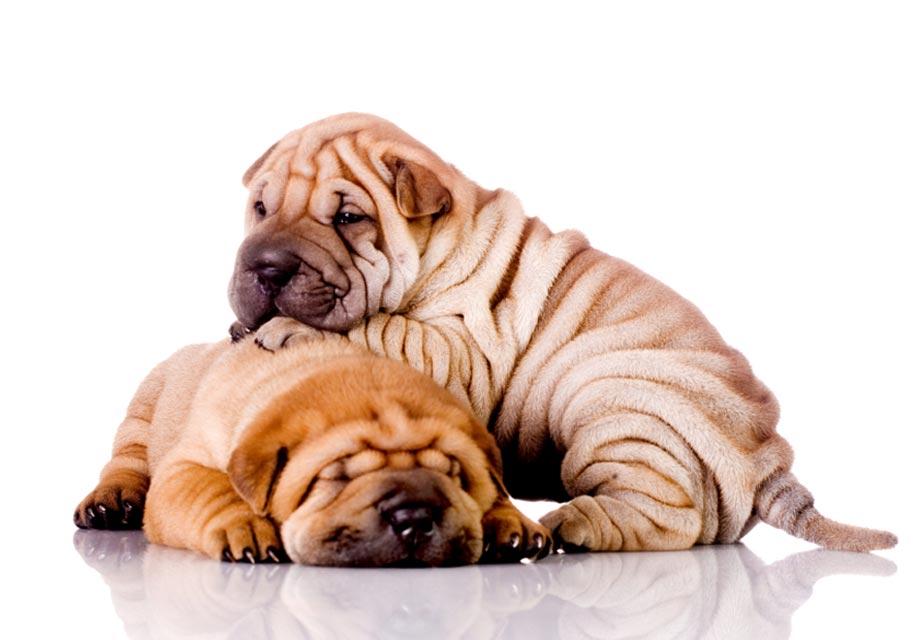 Chinese Shar Pei Puppies For Sale Akc Puppyfinder