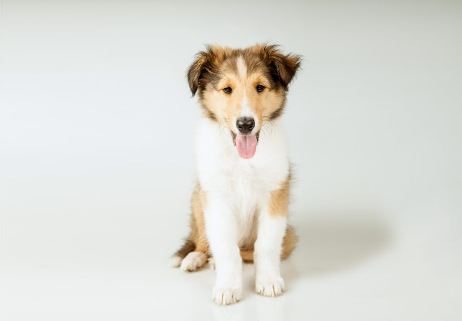 Collie Puppies For Sale Akc Puppyfinder