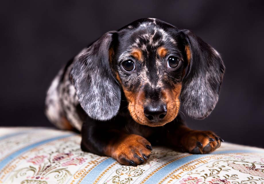 Dachshund Puppies For Sale Akc Puppyfinder