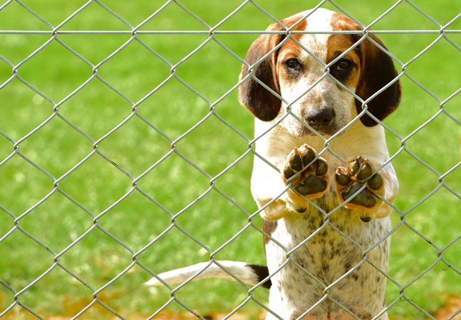 English Foxhound Puppies For Sale - AKC PuppyFinder