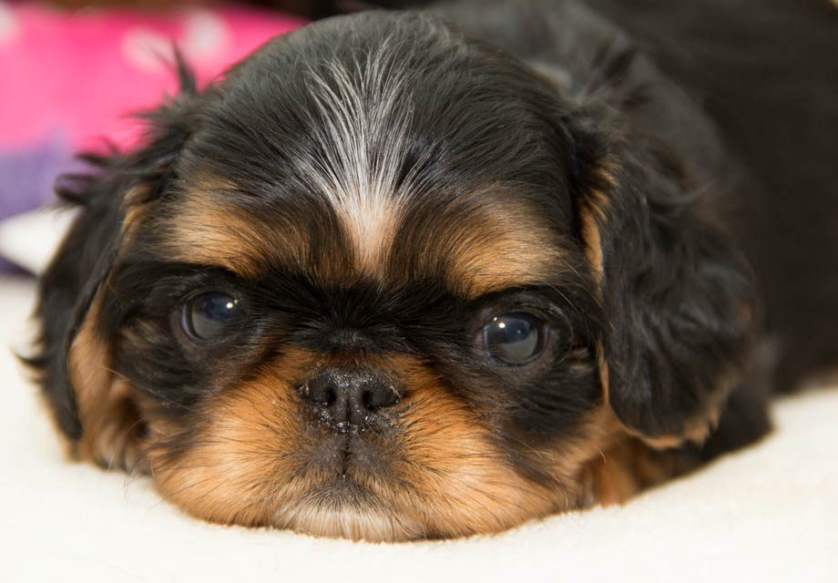 English Toy Spaniel Puppies For Sale