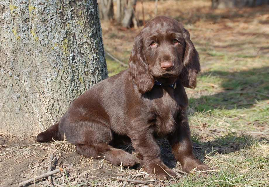 English Cocker Spaniel Puppies For Sale Akc Puppyfinder
