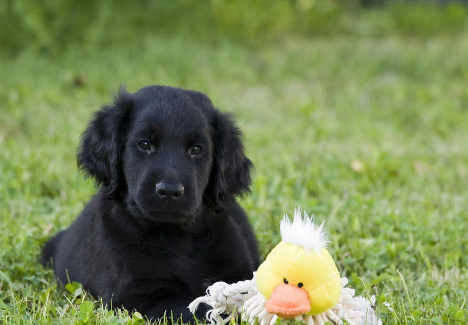 Flat-Coated Retriever Puppies For Sale - AKC PuppyFinder