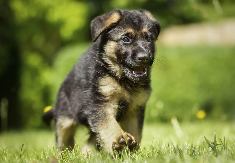 German Shepherd Dog Puppies For
