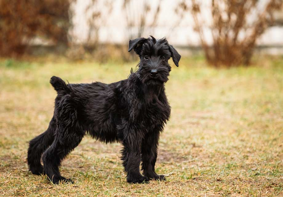 Giant Schnauzer Puppies For Sale Akc Puppyfinder