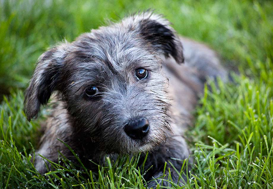 Glen of imaal terrier puppies for sale akc puppyfinder altavistaventures Images