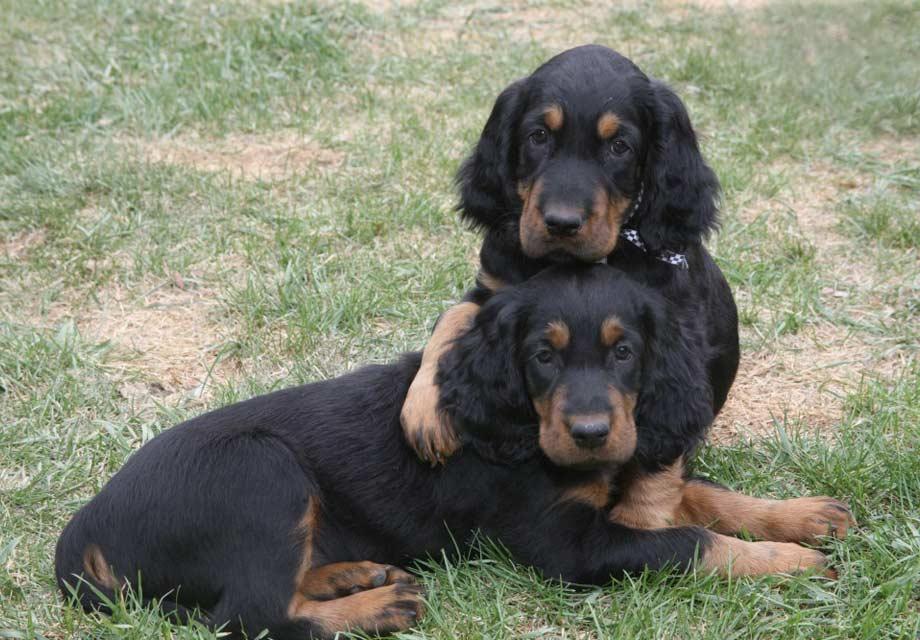 Golden Retriever Puppies For Sale - AKC PuppyFinder