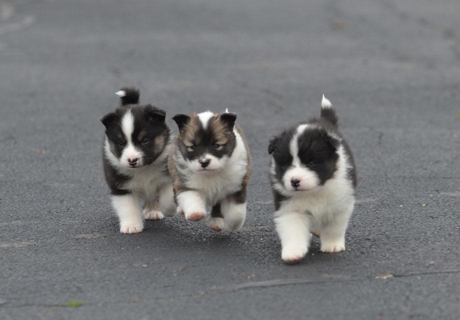 Simple Icelandic Sheepdog Canine Adorable Dog - Icelandic_Sheepdog_SERP  Graphic_216745  .jpg