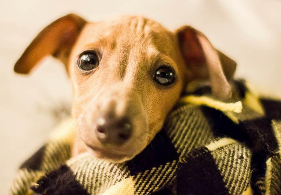 Italian Greyhound Puppies For Sale - AKC PuppyFinder