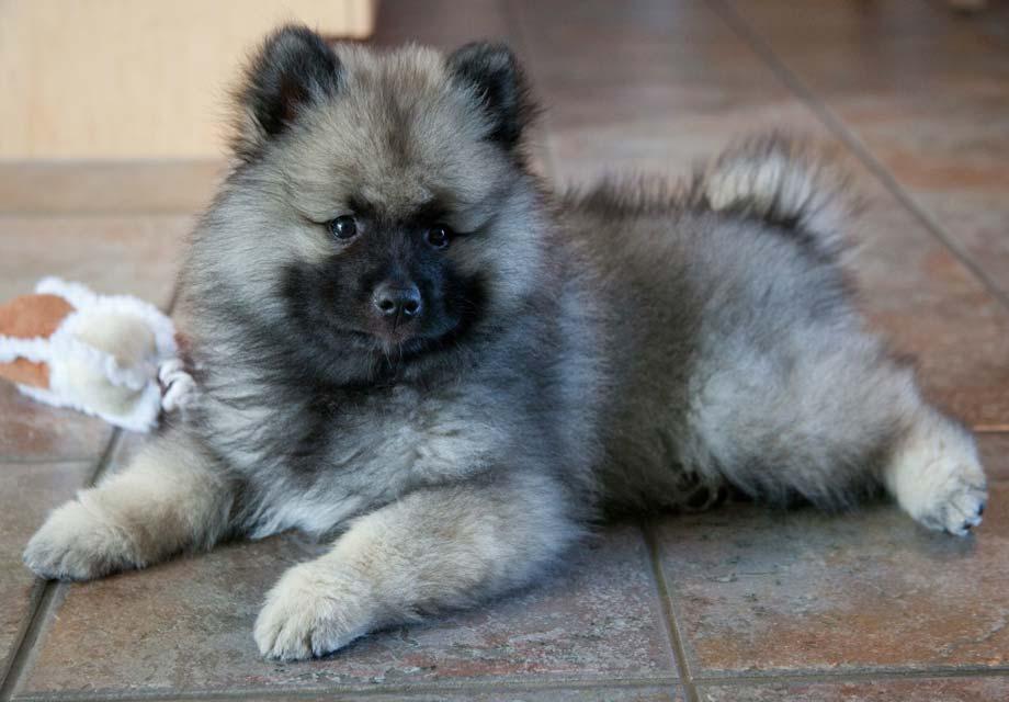 Pomeranian Puppies For Sale - AKC PuppyFinder