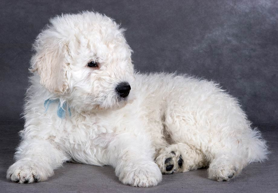 Komondor Puppies For Sale Akc Puppyfinder