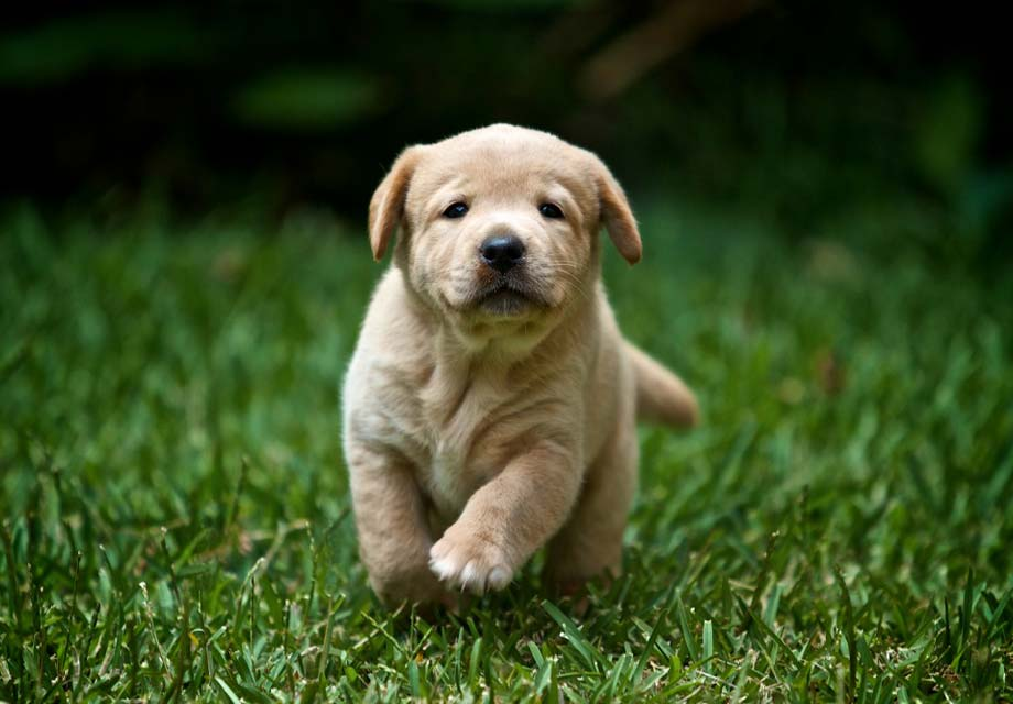 Labrador Retriever Lab Puppies For