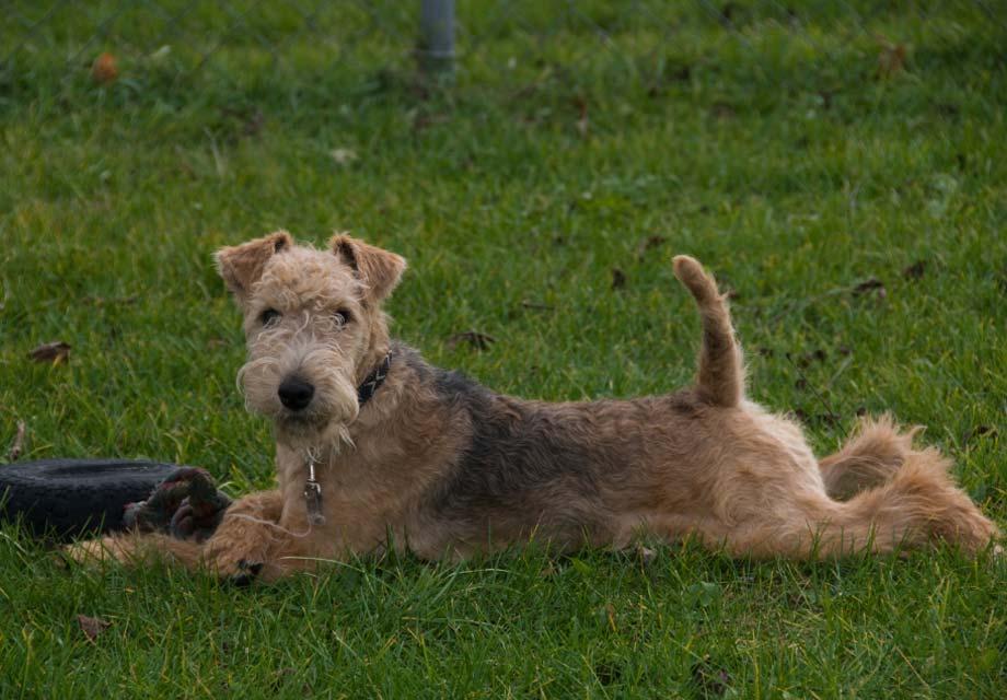 Soft Coated Wheaten Terrier Puppies For Sale Akc Puppyfinder