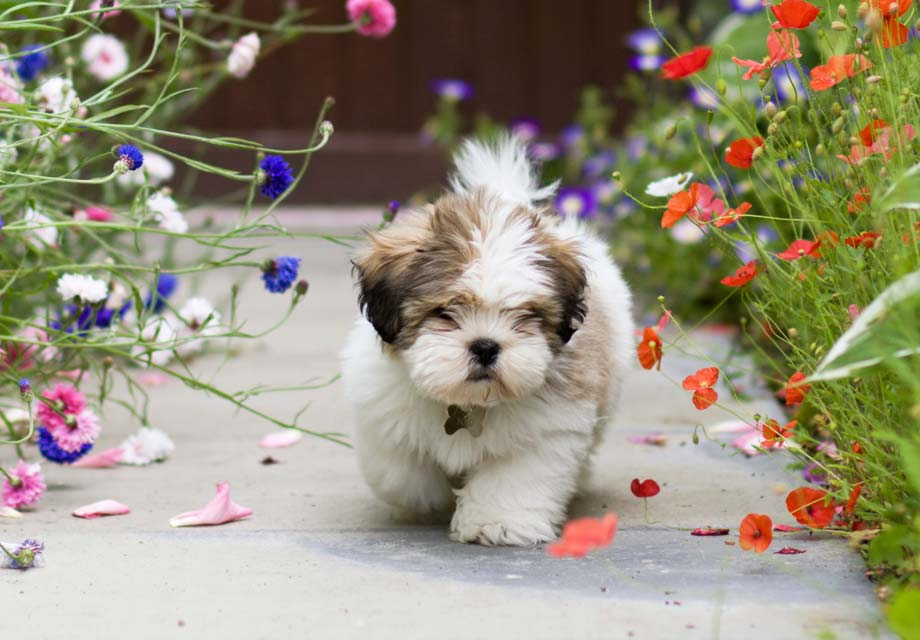 Lhasa Apso Puppies For Sale - AKC PuppyFinder