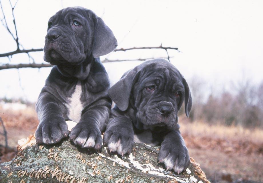 Mastiff Puppies For Sale - AKC PuppyFinder