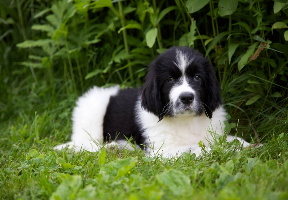 Newfoundland Puppies For Sale Akc Puppyfinder