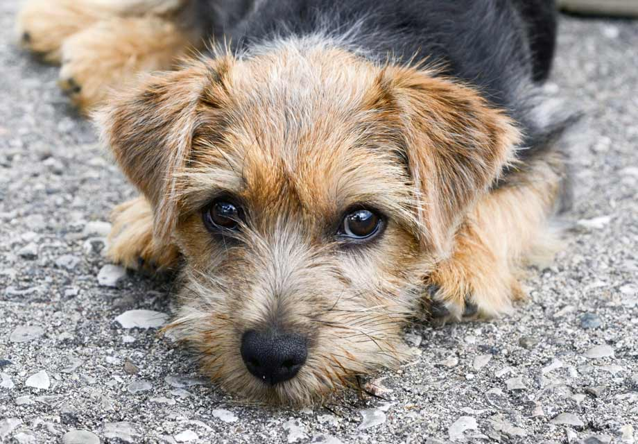 Border Terrier Rescue Dogs For Sale