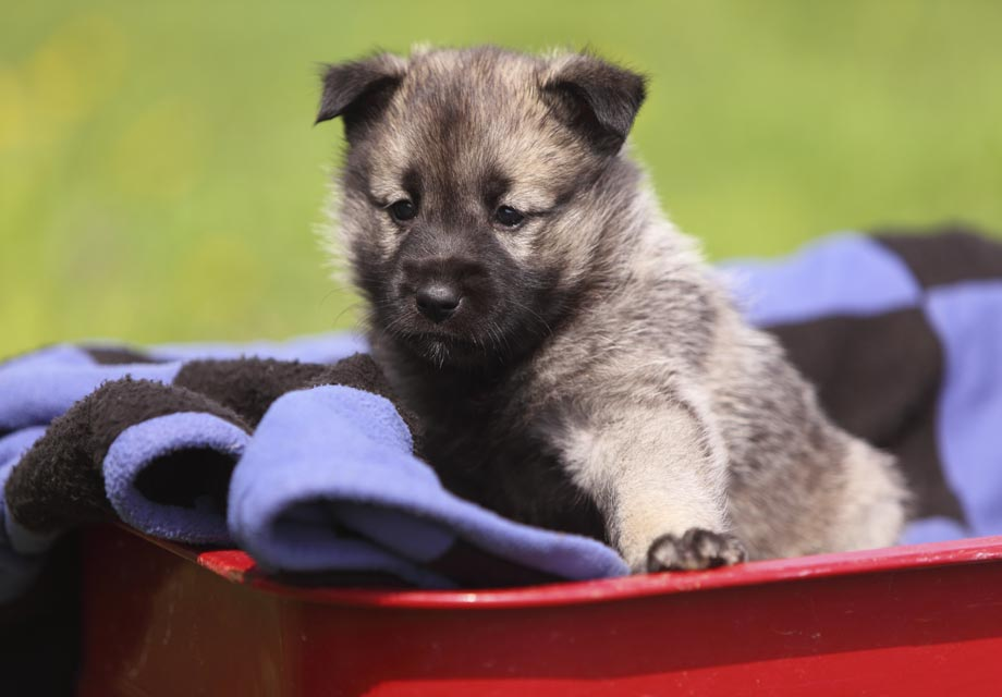 Norwegian Elkhound Puppies For Sale - AKC PuppyFinder