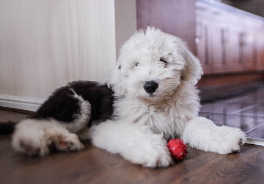Old English Sheepdog Puppies For Sale - AKC PuppyFinder