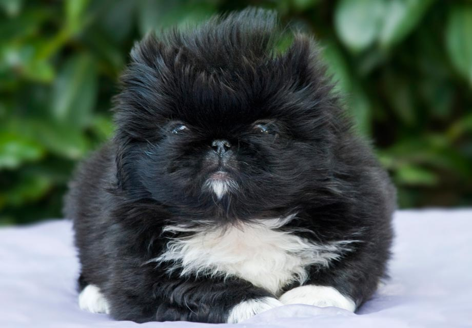 Japanese Chin Puppies For Sale - AKC PuppyFinder