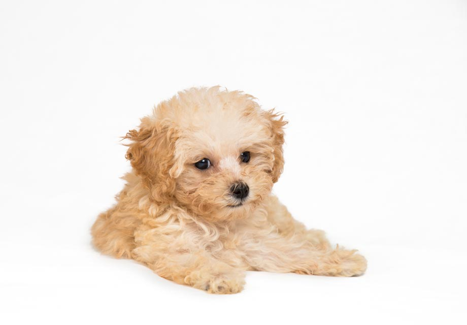 Poodle Puppies For Sale Akc Puppyfinder