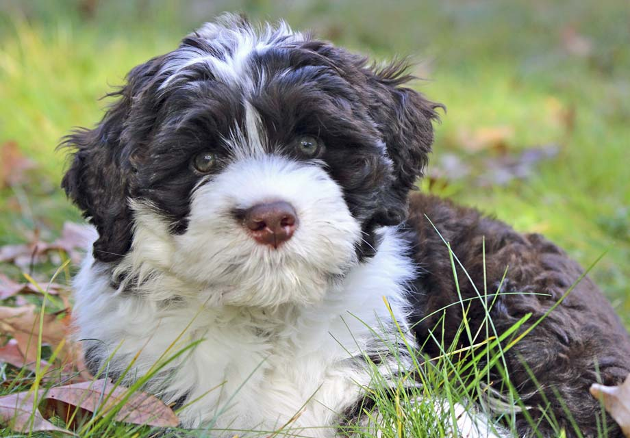 Portuguese Water Dog Puppies For Sale - AKC PuppyFinder