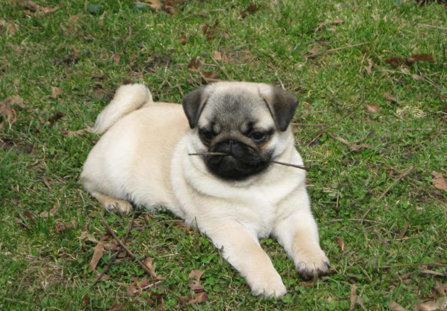 Pug Puppies For Sale - AKC PuppyFinder