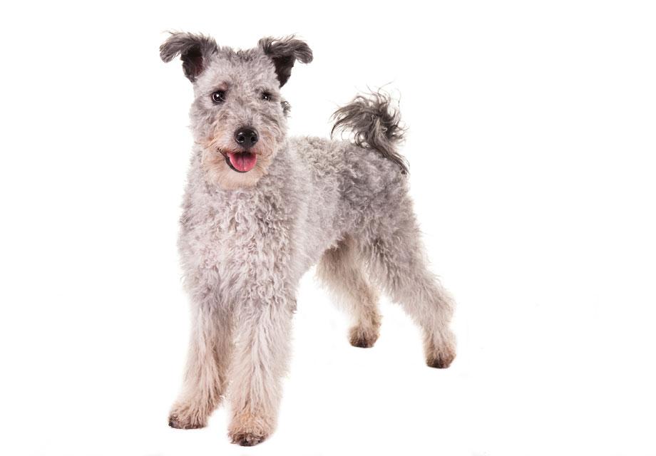 Pumi Puppies For Sale - AKC PuppyFinder