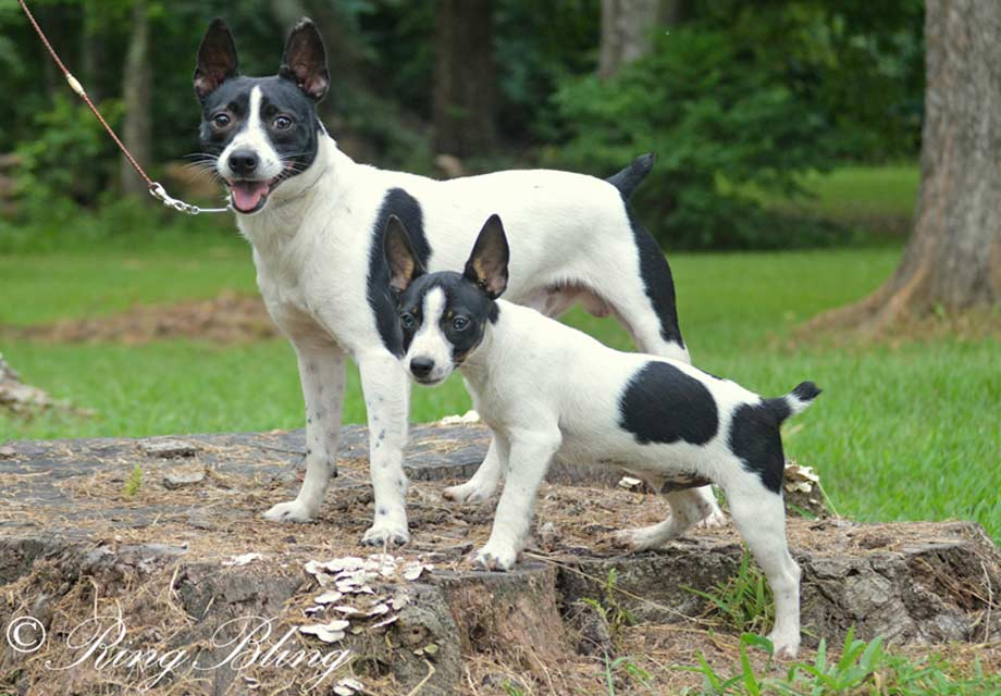 Rat Terrier Puppies For Sale Akc Puppyfinder