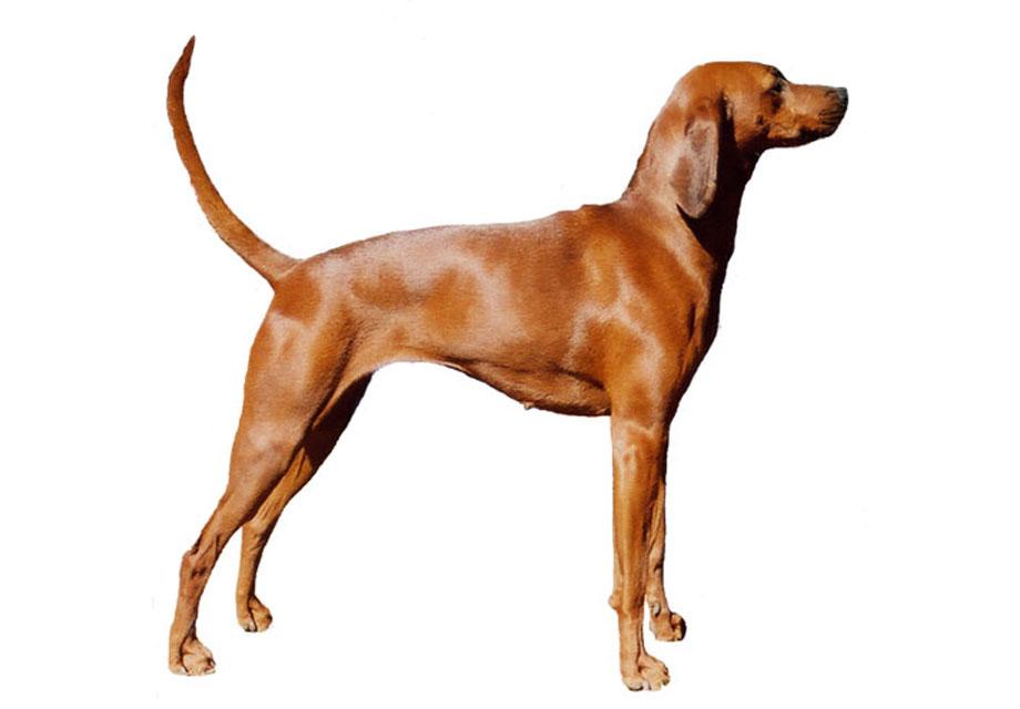 Redbone_Coonhound_SERP.jpg
