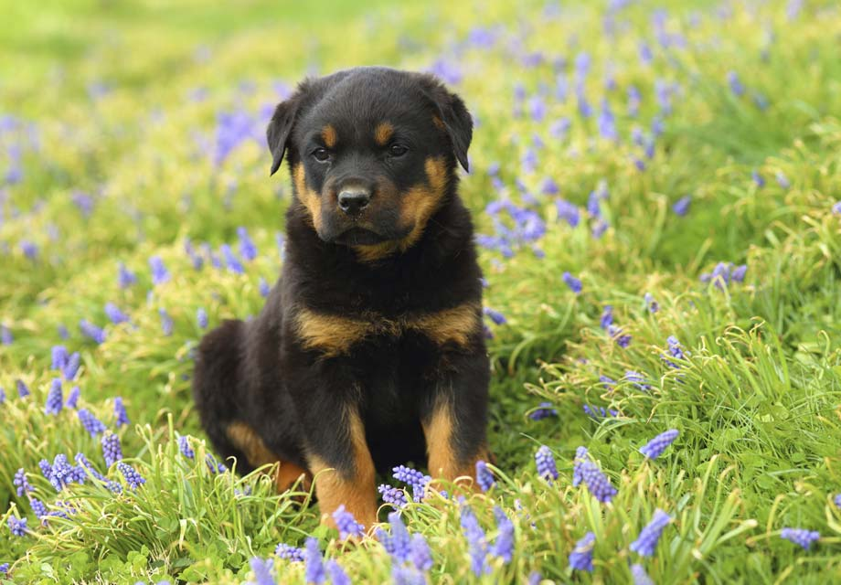 Rottweiler Puppies For Sale Akc Puppyfinder