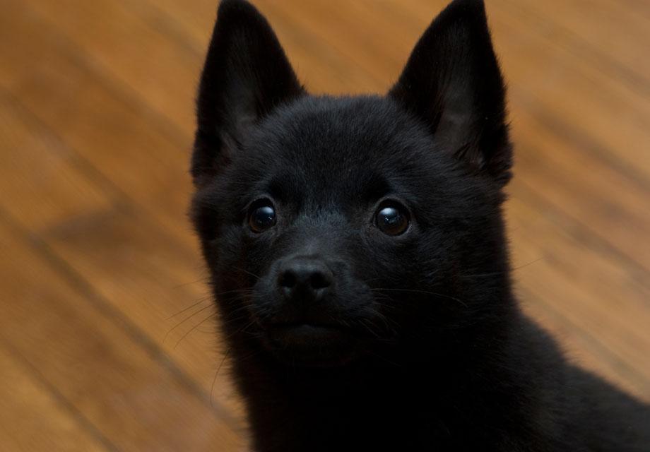 Schipperke Puppies For Sale Akc Puppyfinder