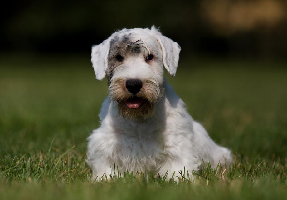 Cairn Terrier Puppies For Sale - AKC PuppyFinder