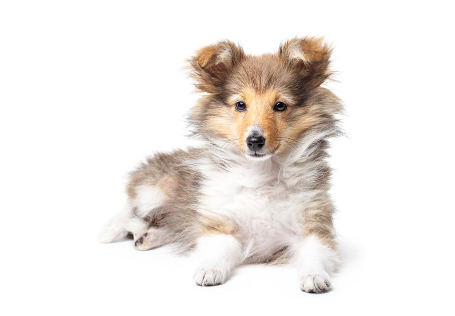 Shetland Sheepdog Sheltie Puppies For Sale Akc Puppyfinder