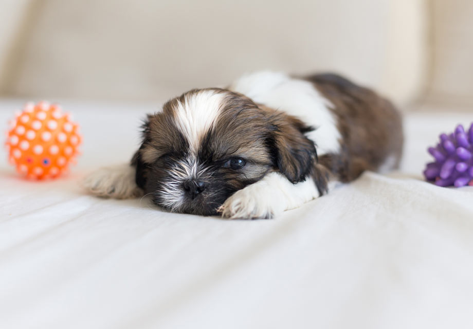 Shih Tzu Puppies For Sale - AKC PuppyFinder