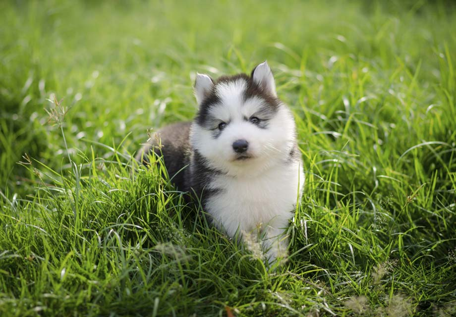 Siberian Husky Puppies For Akc