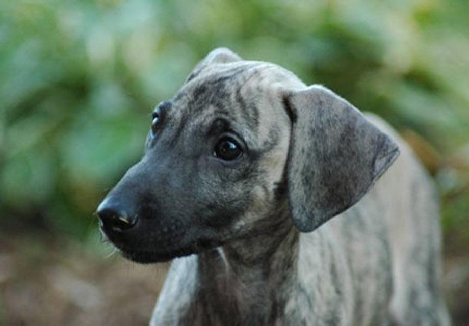 Saluki Puppies For Sale - AKC PuppyFinder