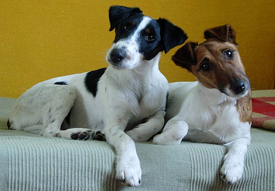 smooth fox terrier breeders smooth fox terrier puppies for sale akc puppyfinder 1185