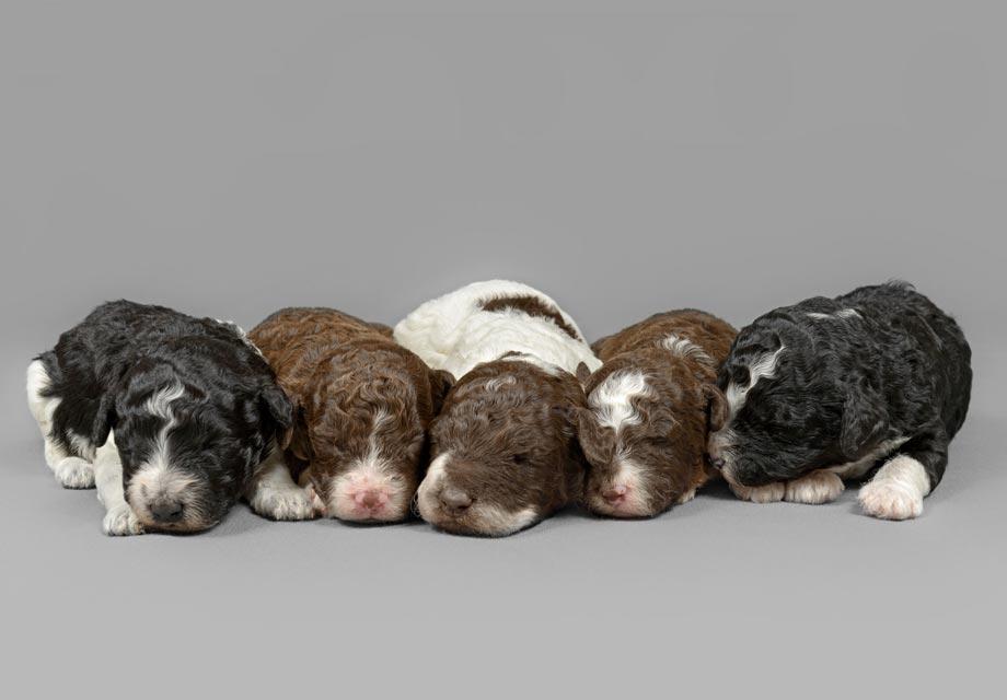 Lagotto Romagnolo Puppies For Sale - AKC PuppyFinder