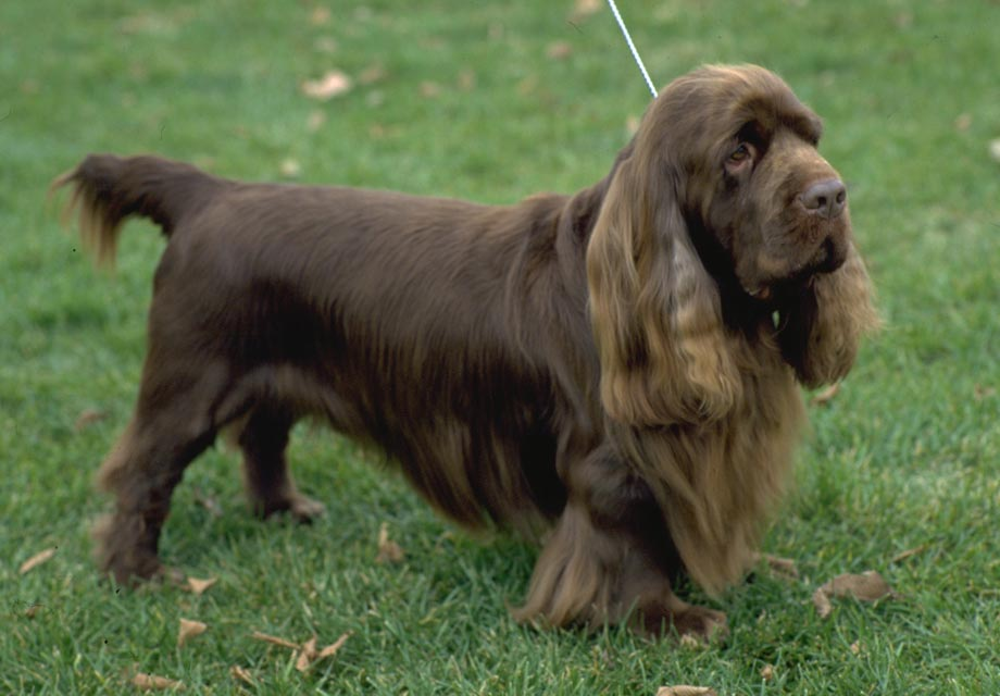 Sussex Spaniel Puppies For Sale