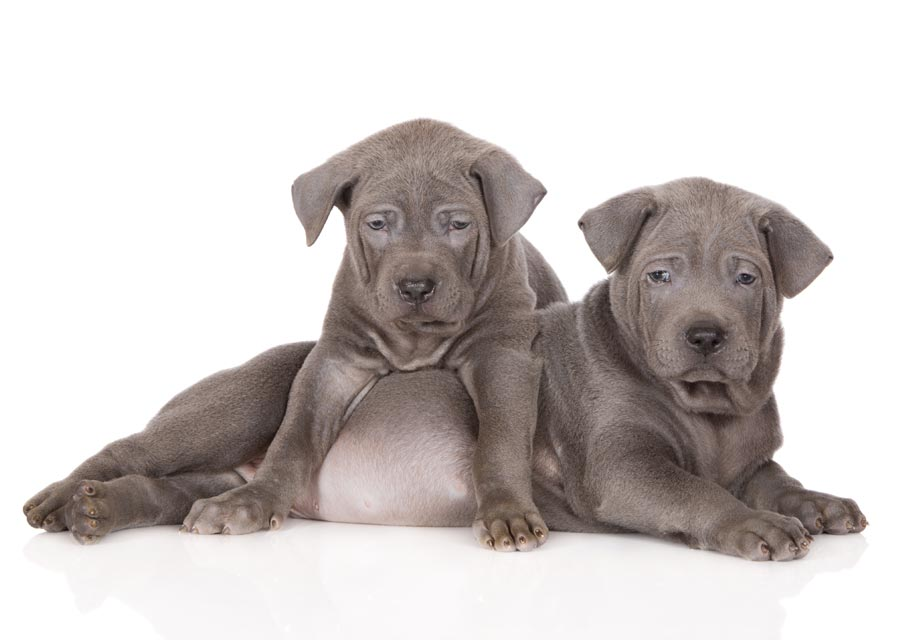 Rhodesian Ridgeback Puppies For Sale - AKC PuppyFinder