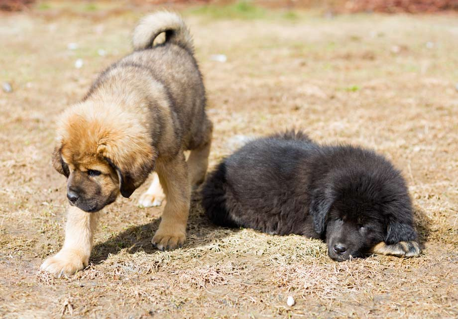 Tibetan Mastiff Puppies For Sale - AKC PuppyFinder