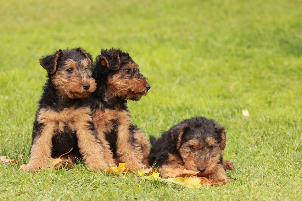 Airedale Terrier Puppies For Sale Akc Puppyfinder