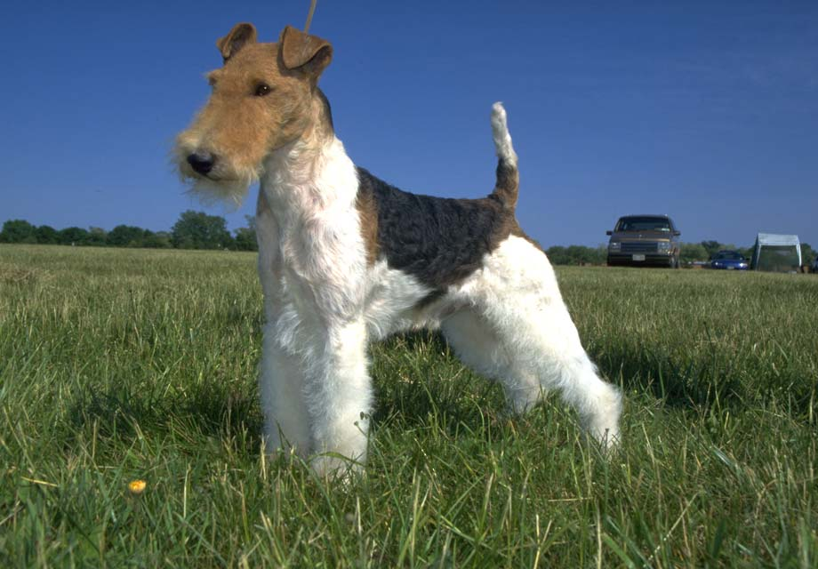 Wire Fox Terrier Puppies For Sale - AKC PuppyFinder