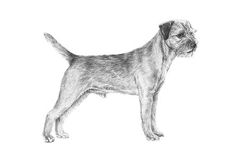 Peter Shea - Border Terrier Puppies For Sale - Born on 08/05