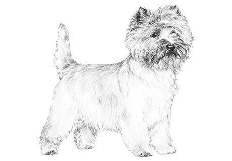 WOOSTER FARMS - Cairn Terrier Puppies For Sale - Born on 01