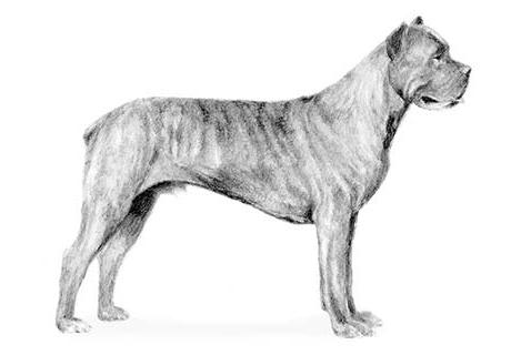Big Huey's Cane Corso Mastiffs - Cane Corso Puppies For Sale