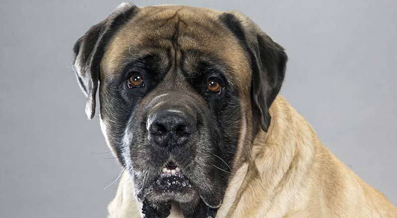 Mastiff dog breed information pictures characteristics amp facts - Mastiff Dog Breed Information Pictures Characteristics Amp Facts 11