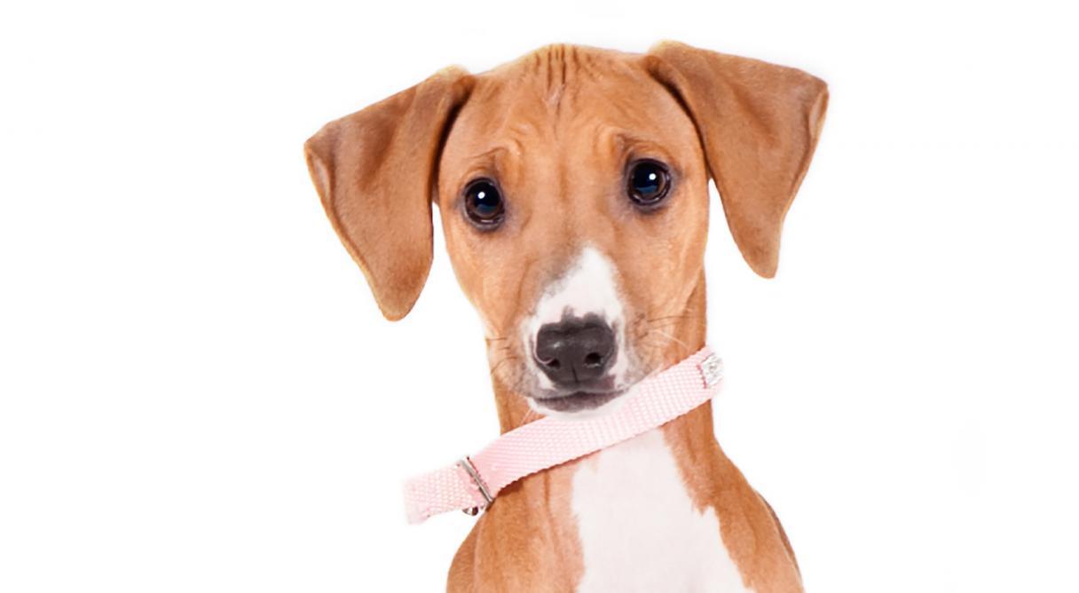 Azawakh Dog Breed Information - American Kennel Club
