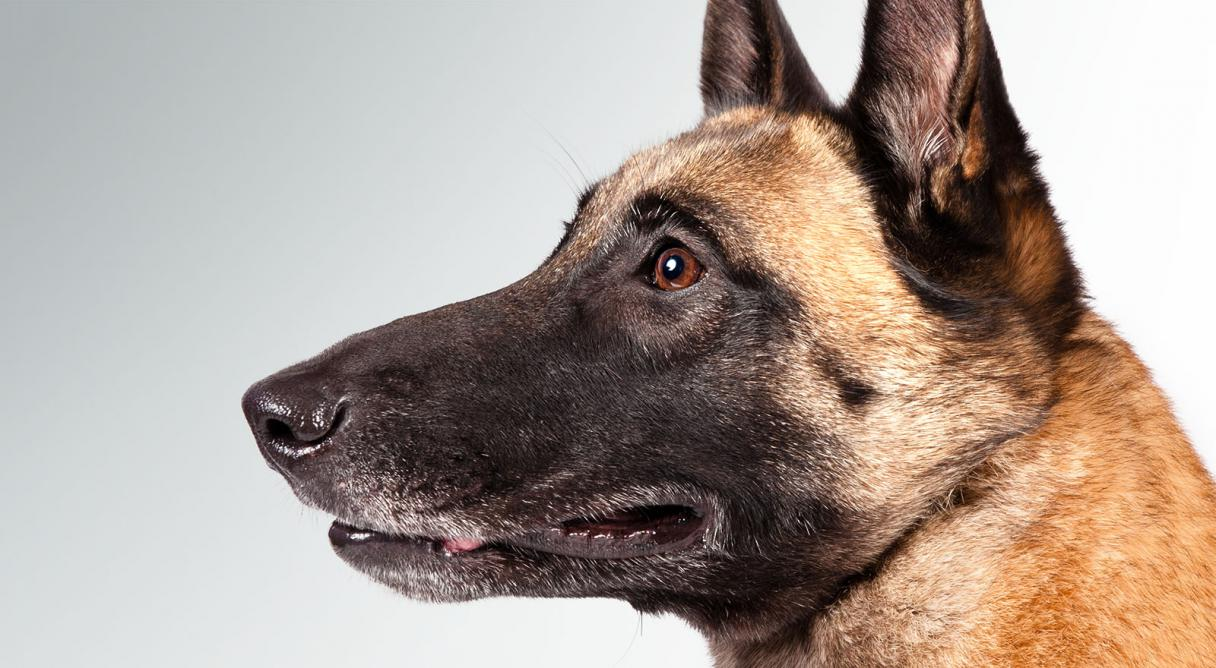 belgian malinois dog breed information american kennel club